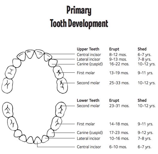 baby teeth chart, baby teeth order